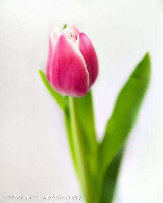 Tulip_0024