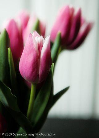 Tulip_0013
