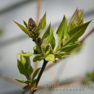 Lilacs_005
